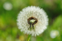 Blowball. Full of seed in summer Stock Photos