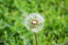 Blowball. Gentle dandelions in the wind power Stock Image