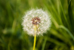 Blowball in the grass Stock Photography