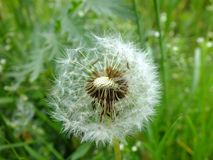 Blowball in grass. In summer stock photo