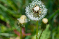 Blowball. A Blowball in the green Stock Images