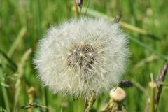 Dandelion in the grass in closeup stock images