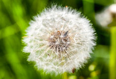 Blowball on a green gras background Stock Images