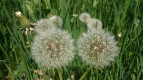 Blowball. Green grass and blowball danadelion royalty free stock image