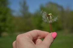 Blowball in hand Stock Photos