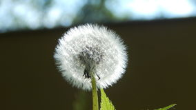Blowball i sommaräng Arkivfoton