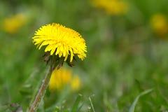 blowball kolor żółty zdjęcia stock