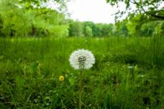 Blowball kwiat w Wilhelmshaven, Niemcy Zdjęcie Stock