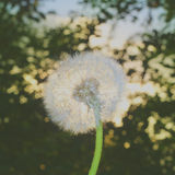 Blowball lanuginoso e l'alba Bokeh Fotografie Stock Libere da Diritti