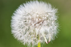 Blowball macro dandelion seed head flower blossom white green sp Royalty Free Stock Image