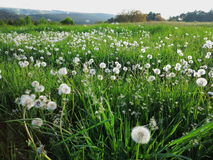 Blowball meadow landscape Royalty Free Stock Image