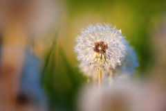 Blowball in the meadow with morning light Royalty Free Stock Photo