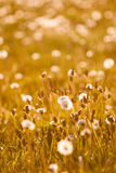 Blowball on meadow Stock Image