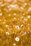 Blowball på äng fotografering för bildbyråer
