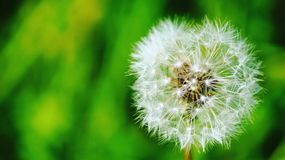 Blowball in the park Stock Photos