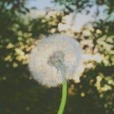 Blowball pelucheux et le lever de soleil Bokeh Photos libres de droits