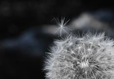 Blowball. The photo of white dandelion Royalty Free Stock Photography