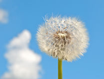 Blowball Stock Photography