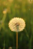 Blowball at set of sun Stock Photography
