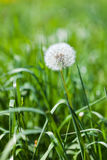The blowball. A single blowball on a spring meadow royalty free stock images