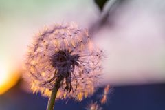 Blowball. In Spring sunny meadow. Sunset blur background royalty free stock photography