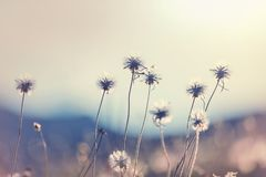 Blowball. In Spring sunny meadow. Sunset blur background stock image