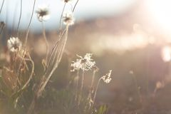 Blowball. In Spring sunny meadow. Sunset blur background royalty free stock photo