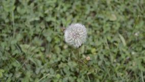 Blowball su erba in vento stock footage