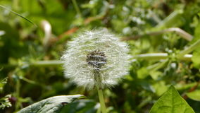 Blowball in summer meadow Royalty Free Stock Photo