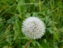 Blowball with water droplets Royalty Free Stock Images