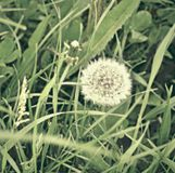Blowball y mala hierba Símbolo de la fragilidad fotos de archivo libres de regalías
