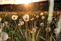 Blowballs в поле заходом солнца Стоковое Фото