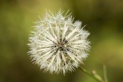 Blowballs общего одуванчика белизны - officinale taraxacum Стоковое Изображение