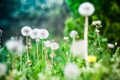 Blowballs одуванчика весной Стоковая Фотография RF