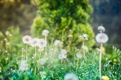 Blowballs одуванчика весной Стоковое фото RF