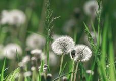 Blowballs одуванчика в солнечном свете утра Стоковые Фотографии RF