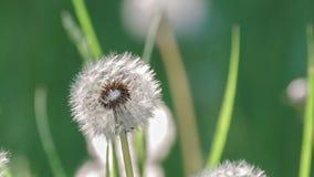Blowballs одуванчика в солнечном свете утра Стоковые Фото
