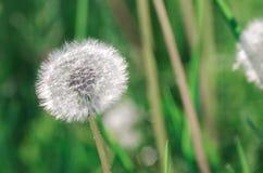 Blowballs одуванчика в солнечном свете утра Стоковые Изображения RF