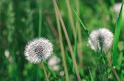 Blowballs одуванчика в солнечном свете утра Стоковое Фото