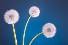 3 blowballs одуванчика голубого Стоковая Фотография
