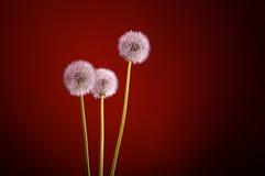 Blowballs одуванчика красные Стоковое Изображение RF