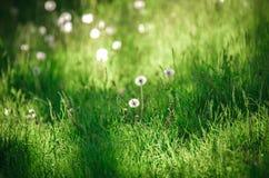 Blowballs одуванчика на мирном луге свежей зеленой травы Стоковое фото RF