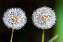 Blowballs Стоковая Фотография RF