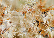 Blowballs in the autumn. Blowballs of flowers in the autumn Royalty Free Stock Image