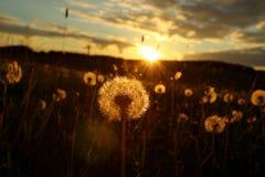 Blowballs dans un domaine par coucher du soleil Image libre de droits