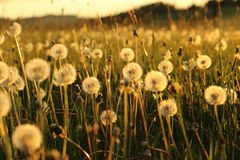 Blowballs dans un domaine par coucher du soleil Photographie stock