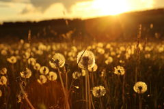 Blowballs dans un domaine par coucher du soleil Image stock