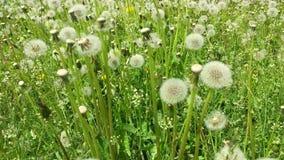 Blowballs de ocsilación en el campo de hierba verde que critica a la derecha Escena hermosa del fondo verde fresco metrajes