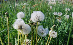 Blowballs with dew, early morning. Blowballs (the downy head or pappus of the dandelion) with dew, early morning. Springtime Stock Images