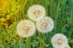 Blowballs di estate Fotografie Stock Libere da Diritti